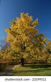 Yellowy Ginkgo tree in Indian summer.