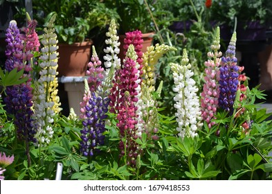 Yellwo, pink, red, blue and white flowers of Lupinus, commonly known as lupin or lupine, in full bloom in a sunny spring garden, beautiful outdoor floral background photographed with soft focus