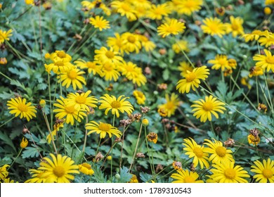 yeloow sun flower tropica plants