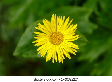 Yeloow wild flower of Doronicum orientale in a forest on a cloudy day