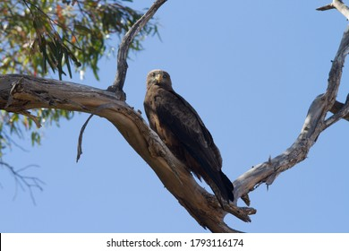 Yeloow-billed Kite perched in a tree facing forward
