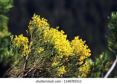Yelow flowers of alpine forest.