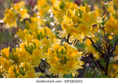 Yelow rhododendron flowers under the rain