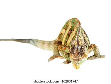 yemen chameleon in a host of artificial white background