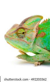 Yemen chameleon isolated on white background