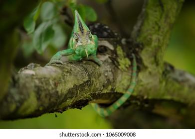 Yemen chameleon lizard.