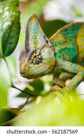 Yemen chameleon is sitting on the branch
