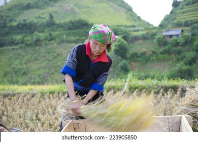 Yen Bai, Vietnam - Sept 28, 2014: Unidentified Hmong woman with her son on back, separates seeds from rice tree on terraced paddy field in harvesting season