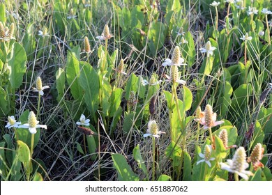 Yerba Mansa,  Anemopsis californica,  and sometimes called Lizard's Tail  is considered by some to be a medicinal plant.