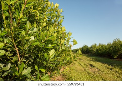 yerba mate plantation