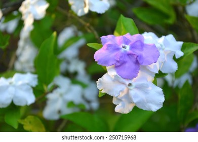 Yesterday today and tomorrow flower, Brunfelsia pauciflora, Family Solanaceae, Central of Thailand