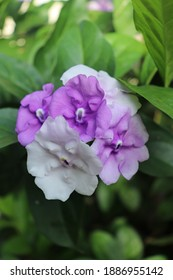 Yesterday-Today-and Tomorrow Tropical Plant (Brunfelsia Pauciflora) with Purple, Lavender, and White Blossoms in Flower Garden