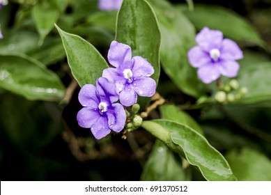 Yesterday-today-and-tomorrow (Brunfelsia pauciflora) Nicaragua