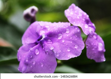 yesterday-today-and-tomorrow   under the rain Brunfelsia pauciflora