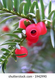 Yew tree branch with one red berry