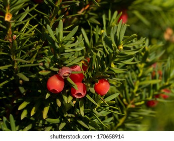 Yew tree with red fruits (Taxus baccata)