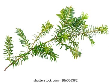 yew twig isolated on white background - Shutterstock ID 186036392