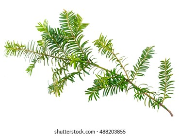 yew twig isolated on white background - Shutterstock ID 488203855