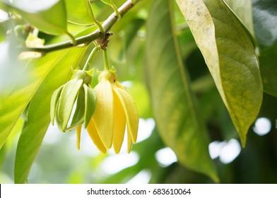 Ylang ylang flower or Cananga odorata