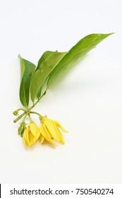 ylang ylang flower, climbing ilang-ilang, manorangini