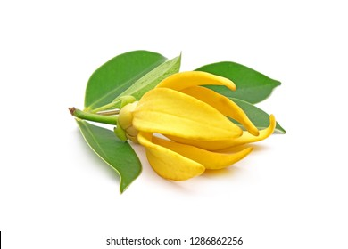 Ylang ylang flower (Ilang ilang) with green leaves isolated on white background. Fragrance flower for extract aromatherapy essential oil.