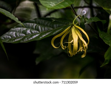 Ylang Ylang or Perfume Tree  the flower in tropical asia on black background