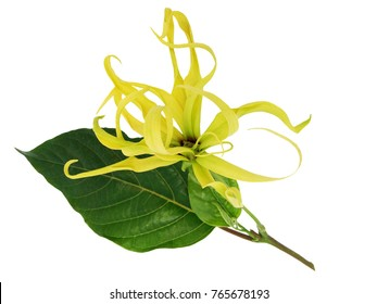 Ylang-Ylang, Cananga odorata blossom flower with green leaves isolated on white background