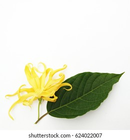 Ylang-ylang, Cananga odorata flower on white background with copy space