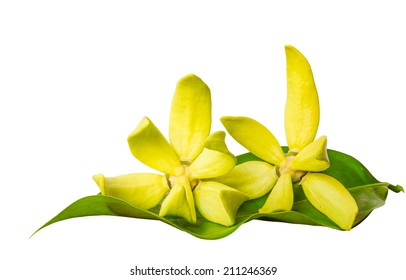 ylang-ylang flowers on white background