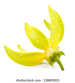 Ylang-Ylang Flower,Thailand