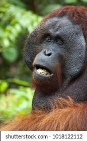 Yodo, a large male orangutan, takes his turn at the feeding station, in Tanjung Puting National Park, Kalimantan, Indonesia