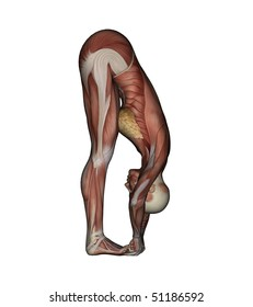 Yoga - Big Toe Pose. Female Muscles - Side View