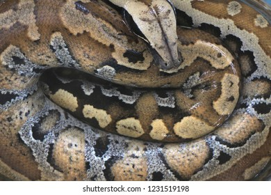 Yogyakarta 18 Oct 2018 - Endangered python snake with beautiful leather pattern is sleeping on the glass bowl during visitor time in a summer season