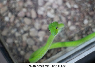 Yogyakarta 18 Oct 2018 - Zoo officer is putting beautiful green snake inside the glass box so every zoo visitor able to see it during the day time