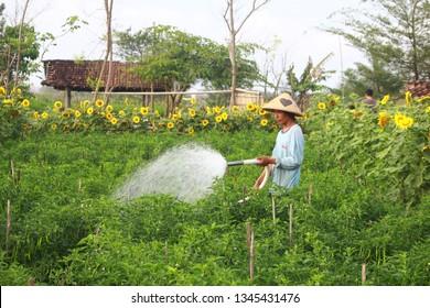 Yogyakarta, Indonesia - 15/05/2017: petani bunga matahari, sunflower farmers