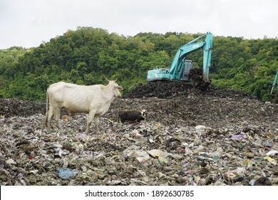 Yogyakarta, Indonesia - jan 12th 2021 A white cow watching the backhoe machine on scooping the trash at TPST Piyungan the landfill of the city, the cow on the site to find some food among the garbage