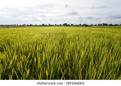 Yogyakarta, Indonesia - Jan 9th 2021 Mature rice plants ready to harvest with green yellow color