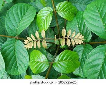 Yogyakarta, Indonesia - July 5 st 2020 : Uncaria rhynchophylla plants