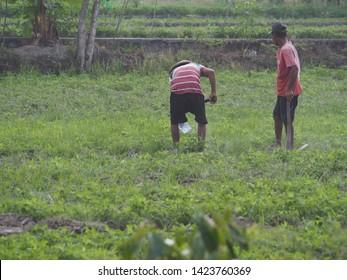 Yogyakarta / Indonesia - June 14 2019: Indonesia farmers (petani) working in rice field during farming season
