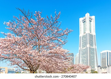 YOKOHAMA, JAPAN - March 31: Cherry blossom trees at Minato Mirai 21 area in Yokohama, Japan on March 31, 2015.