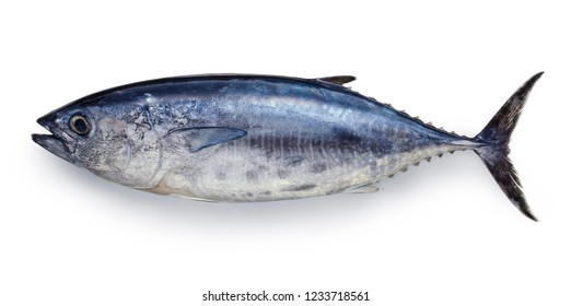 Yokowa (young Pacific bluefin tuna)