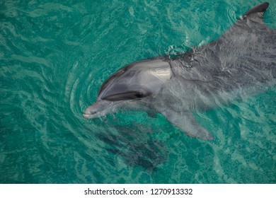 The yong Bottlenose dolphin is swimming in red sea near the beach on shellow water
