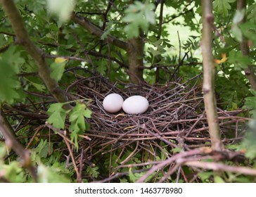 York UK Aug 28 2018 a pair of Woodpigeon eggs in a nest situated in a  hawthorn hedge. The Woodpigeon population has increased as a result of more winter cropping & modern agricultural practices