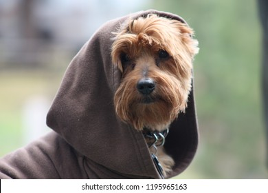 Yorkie camping looks like yoda from starwars