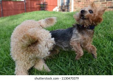Yorkie and Cavapoo playing in backyard