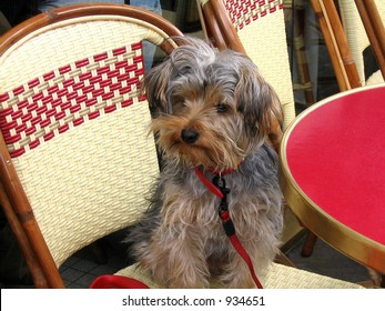 Yorkie dog on Parisian cafe chair with a red table in foreground