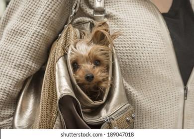 Yorkie Dog In Purse