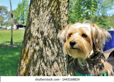 A Yorkie mix dog sitting under a tree on a summer day