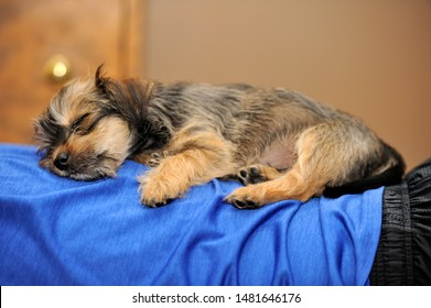 A Yorkie mix puppy lying on owners back