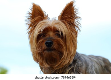 Yorkie poo outside small dog